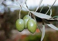 sicilian_olive_oil4