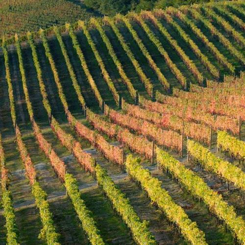 kosher_wine_chianti_vineyard